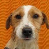 Ruben, Chien croisé / autre (fox terrier poil dur) à adopter