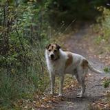 Figo, Chien croisé / autre (fox terrier poil dur/ beagle) à adopter