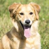 Ninook, Chiot croisé / autre (golden retriever) à adopter