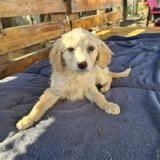 Santana, Chiot croisé / autre (golden retriever) à adopter