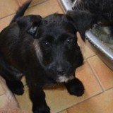 Lili, Chiot croisé / autre (griffon) à adopter