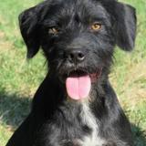 Suko, Chien croisé / autre (griffon) à adopter