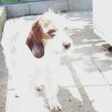 Max, Chien croisé / autre (griffon) à adopter