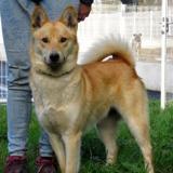 Noaman, Chiot croisé / autre (husky siberien) à adopter