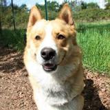 Hayko, Chiot croisé / autre (husky siberien) à adopter