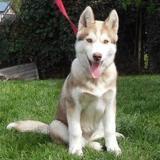 Oksana (réservée), Chiot croisé / autre (husky siberien) à adopter