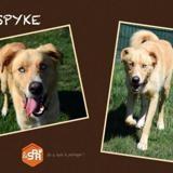 Spyke, Chien croisé / autre (husky siberien) à adopter