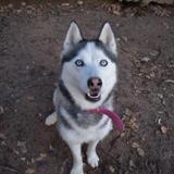 Gina, Chien croisé / autre (husky siberien) à adopter