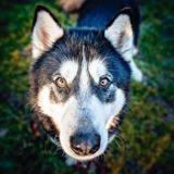 Scar, Chien croisé / autre (husky siberien) à adopter