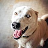 Karako, Chien croisé / autre (husky siberien) à adopter