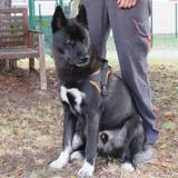 Balto (en placement provisoire), Chiot croisé / autre (husky siberien) à adopter