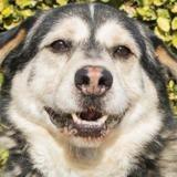 Hatchiko, Chien croisé / autre (husky siberien/ berger) à adopter