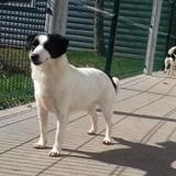 Macao, Chien croisé / autre (jack russel terrier) à adopter