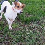 Toby, Chien croisé / autre (jack russel terrier) à adopter