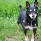 Pepper haa22343, Chien croisé / autre (jadg terrier) à adopter