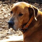 Polo, Chien croisé / autre (labrador (retriever)) à adopter