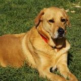 Patapouf, Chien croisé / autre (labrador (retriever)) à adopter