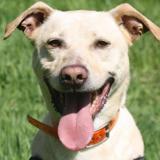 Roxy (éligible famille d'accueil), Chien croisé / autre (labrador (retriever)) à adopter