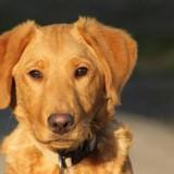 Praliné, Chiot croisé / autre (labrador (retriever)) à adopter