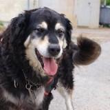 Black, Chien croisé / autre (labrador (retriever)) à adopter