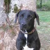 Bunny paa17898, Chiot croisé / autre (labrador (retriever)) à adopter