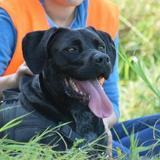 Tommy, Chien croisé / autre (labrador (retriever)) à adopter