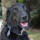 Filou chao9006 , Chien croisé / autre (labrador (retriever)) à adopter