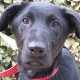 Albus, Chiot croisé / autre (labrador (retriever)) à adopter