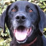 Marty, Chien croisé / autre (labrador (retriever)) à adopter