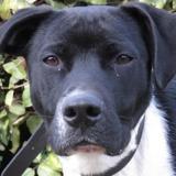 Stanley, Chiot croisé / autre (labrador (retriever)) à adopter