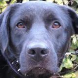 Bacardi, Chien croisé / autre (labrador (retriever)) à adopter