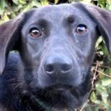 Yes, Chien croisé / autre (labrador (retriever)) à adopter