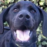 First, Chien croisé / autre (labrador (retriever)) à adopter