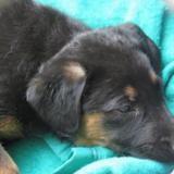 Maa2172, Chiot croisé / autre (labrador (retriever)) à adopter