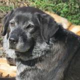 Fraise, Chien croisé / autre (labrador (retriever)) à adopter