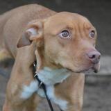 Tatou chao9569, Chien croisé / autre (labrador (retriever)) à adopter