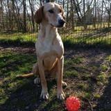 Cookie, Chiot croisé / autre (labrador (retriever)) à adopter