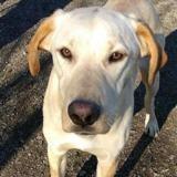 Blondie, Chiot croisé / autre (labrador (retriever)) à adopter