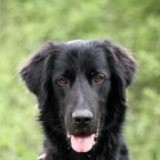 Tanguy, Chien croisé / autre (labrador (retriever)) à adopter