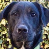 Diego, Chien croisé / autre (labrador (retriever)) à adopter