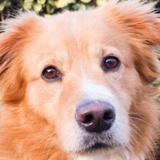 Tyson, Chien croisé / autre (labrador (retriever)) à adopter