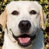 Octavius, Chiot croisé / autre (labrador (retriever)) à adopter