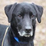 Loki, Chien croisé / autre (labrador (retriever)) à adopter