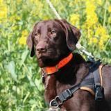Lysa haa22308, Chiot croisé / autre (labrador (retriever)) à adopter