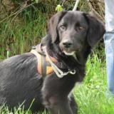 Mino, Chiot croisé / autre (labrador (retriever)) à adopter