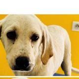 Piuma, Chiot croisé / autre (labrador (retriever)) à adopter