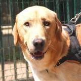 Paco, Chien croisé / autre (labrador (retriever)) à adopter