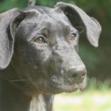 Pandie, Chiot croisé / autre (labrador (retriever)) à adopter
