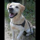 Happach (réservé), Chien croisé / autre (labrador (retriever)) à adopter