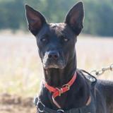 Jaya haa22505, Chien croisé / autre (labrador (retriever)) à adopter